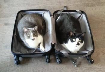 Kedi ve köpekler neden bavul sever