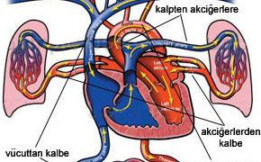 Kan Dolaşımı sistemi ve damarlar Sağlık  sistemi damarlar