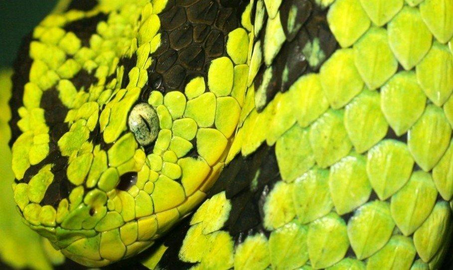Engerek yılanı hakkında bilgiler İlginç Bilgiler  engerek bilgiler