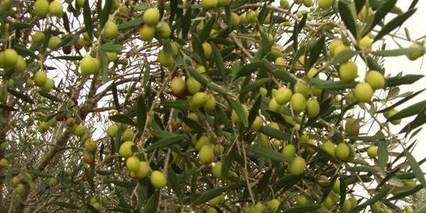 Zeytin ağacının faydaları ve ilginç tarihçesi İlginç Bilgiler  zeytin tarih ilgin faydalar